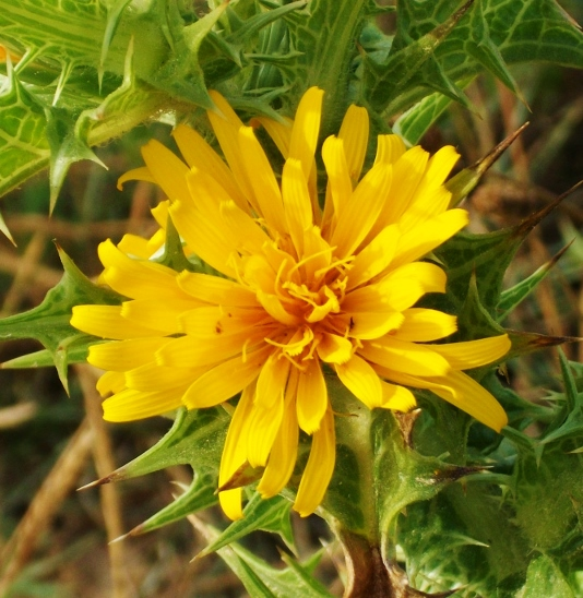 Common Goldenthistle